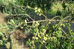 olivessmall