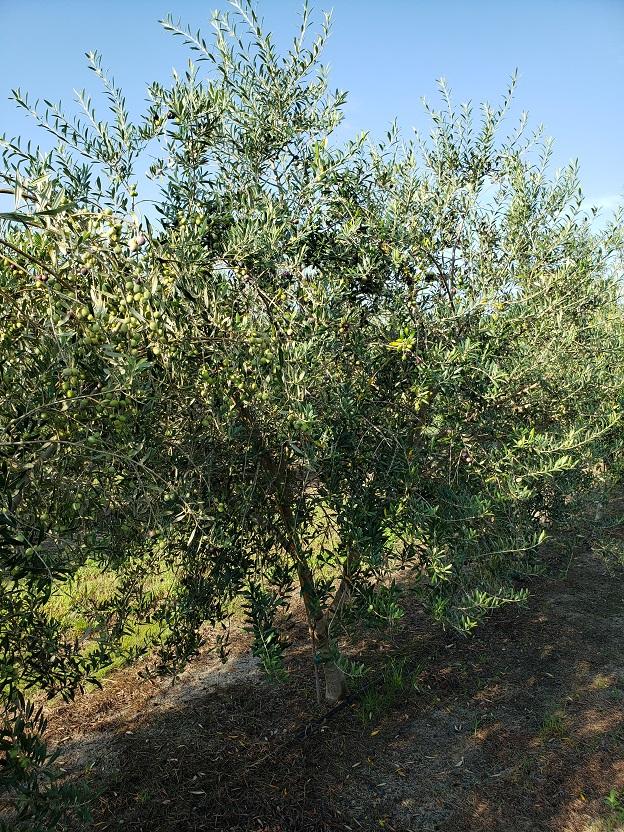 olivesmall7