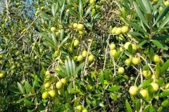 olivesmall5